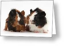 Young Tricolour Guinea Pigs Greeting Card