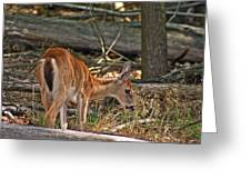 Young Whitetail Greeting Card