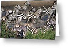 Zebra At Waterhole Greeting Card