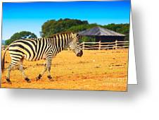 Zebra In The Grassland  Greeting Card