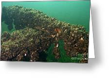Zebra Mussels Greeting Card
