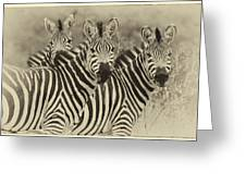 Zebra Trio Greeting Card