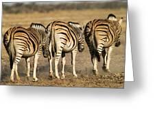 Zebras Three Greeting Card