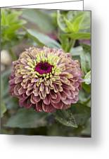 Zinnia Elegans Queen Red Lime Variety Greeting Card