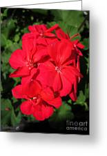 Zonal Geranium Named Candy Cherry Greeting Card
