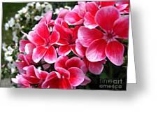 Zonal Geranium Named Candy Fantasy Kiss Greeting Card