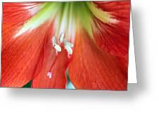 Amaryllis 1 Greeting Card