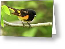 American Redstart Warbler Greeting Card