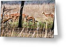 Antidorcas Marsupialis Greeting Card