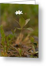 Arctic Starflower Greeting Card