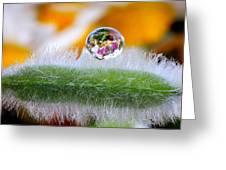 Drop Of Rain On The Pod Lupine Greeting Card