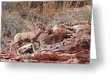 Escalante Canyon Desert Bighorn Sheep  Greeting Card