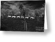 Line Of Cows Greeting Card