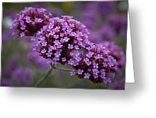 Purpletop Vervain Greeting Card