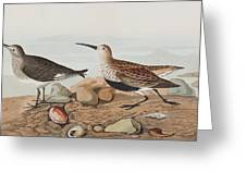 Red Backed Sandpiper Greeting Card
