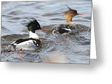Red-breasted-merganser-ducks Greeting Card