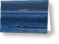 Southern Resident Orcas And Salmon Off The San Juan Islands Playing With Salmon Greeting Card