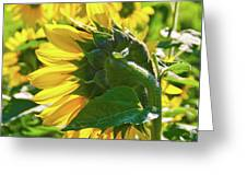 Sunflower 7249a Greeting Card