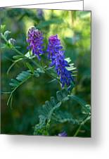 Tufted Vetch Greeting Card