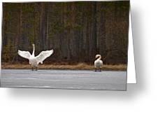 Whooper Swans 2 Greeting Card