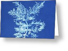 19th-century Alga Cyanotype Greeting Card by Spencer Collectionnew York Public Library
