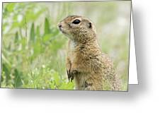A European Ground Squirrel Standing In A Meadow In Spring Greeting Card