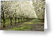 A Flowering Cherry Orchard Greeting Card