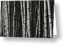 A Forest Of White Birch Trees Betula Greeting Card by Medford Taylor