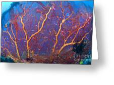 A Red Sea Fan With Purple Anthias Fish Greeting Card by Steve Jones