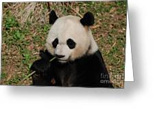 Adorable Giant Panda Eating A Green Shoot Of Bamboo Greeting Card