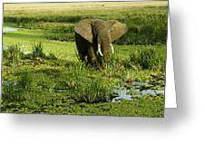 African Elephant In Swamp Greeting Card