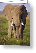 African Elephant Loxodonta Africana Greeting Card by Gerry Ellis