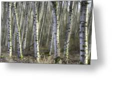 Afternoon Birch Trees Greeting Card
