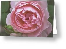 Alnwick Rose 1830 Greeting Card