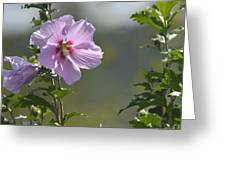 Althea Rose Of Sharon Hibiscus Bloom Greeting Card