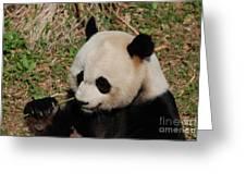 Amazing Panda Bear Holding On To Shoots Of Bamboo Greeting Card