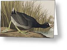 American Coot Greeting Card