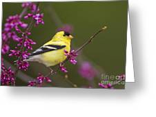 American Goldfinch In Redbud Greeting Card