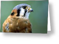 American Kestrel Male Greeting Card
