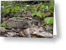 American Woodcock Chick Greeting Card