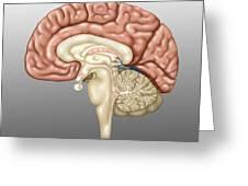 Anatomy Of The Brain, Illustration Greeting Card