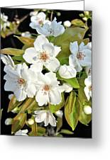 Apple Blossoms 0936 Greeting Card