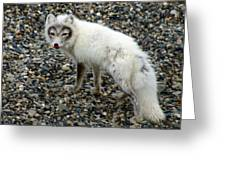 Arctic Fox Greeting Card