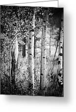 Aspen Trees In Black And White Greeting Card