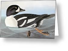 Audubon Duck Greeting Card