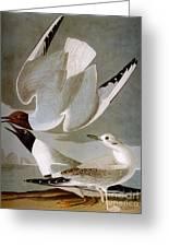 Audubon: Gull Greeting Card