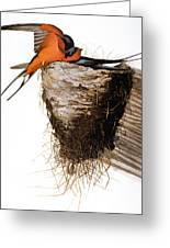 Audubon: Swallow Greeting Card