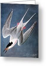 Audubon: Tern Greeting Card
