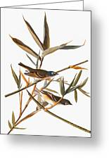 Audubon: Vireo Greeting Card