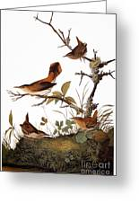 Audubon: Wren Greeting Card